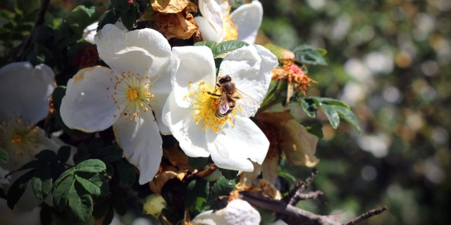 ape_nature-flowers-bee-blossoms